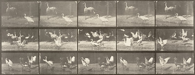 Storks, swans, and other birds (Animal Locomotion, 1887, plate 778)