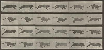 Cat galloping (Animal Locomotion, 1887, plate 720)