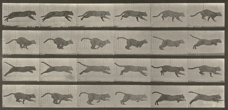 Cat galloping (Animal Locomotion, 1887, plate 720)
