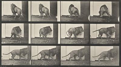 Lion walking and turning around (Animal Locomotion, 1887, plate 725)