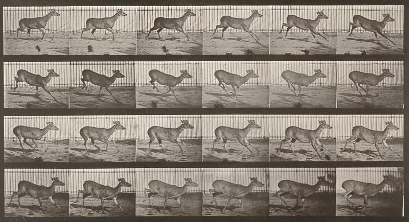Virginia deer, buck, galloping (Animal Locomotion, 1887, plate 683)