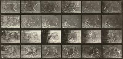 Jaguar walking then turning around (Animal Locomotion, 1887, plate 731)