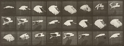 Cockatoo flying (Animal Locomotion, 1887, plate 759)