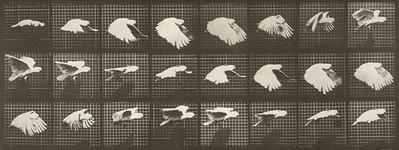 Cockatoo flying (Animal Locomotion, 1887, plate 759)