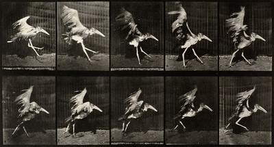 Adjutant flying run (Animal Locomotion, 1887, plate 775)