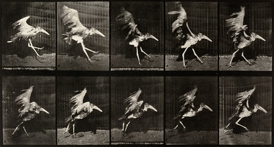 Adjutant flying run (Animal Locomotion, 1887, plate 775)