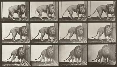 Lion walking and turning around (Animal Locomotion, 1887, plate 723)