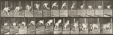Dog Dread jumping hurdle (Animal Locomotion, 1887, plate 712)