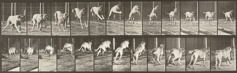 Dog Dread jumping hurdle (Animal Locomotion, 1887, plate 712)