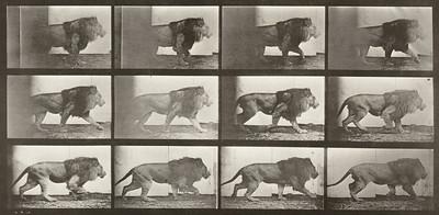 Lion walking (Animal Locomotion, 1887, plate 722)
