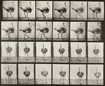Ostrich walking (Animal Locomotion, 1887, plate 772)