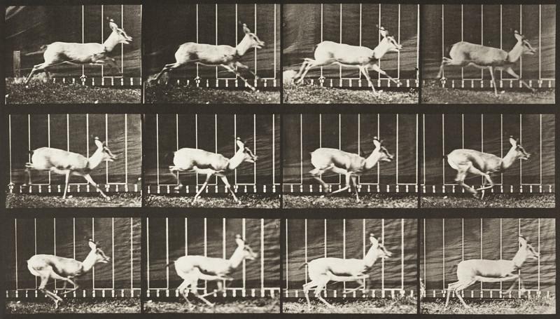 Antelope galloping (Animal Locomotion, 1887, plate 698)