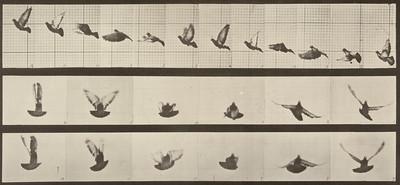 Pigeon flying (Animal Locomotion, 1887, plate 755)