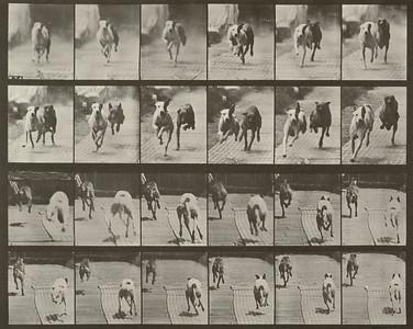 Dogs Ike and Maggie racing (Animal Locomotion, 1887, plate 711)
