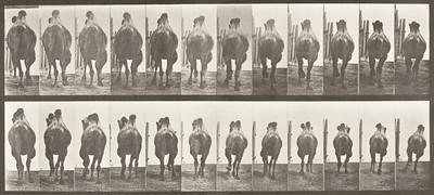 Bactrian camel racking, then galloping (Animal Locomotion, 1887, plate 742)