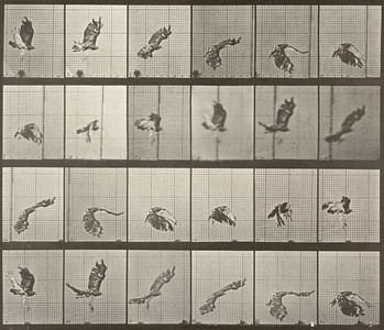 Red-tailed hawk flying (Animal Locomotion, 1887, plate 763)