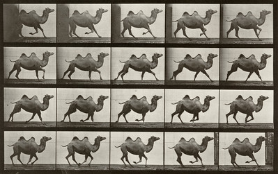 Bactrian camel galloping (Animal Locomotion, 1887, plate 739)