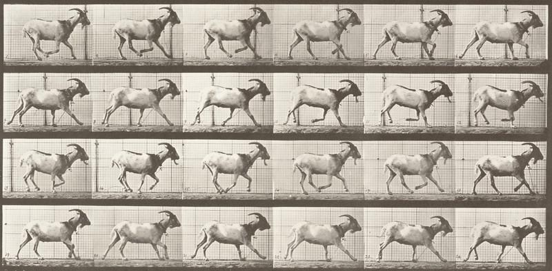 Goat galloping (Animal Locomotion, 1887, plate 679)