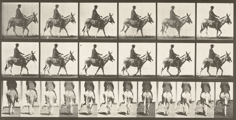 Horse Zoo walking, saddled with rider (Animal Locomotion, 1887, plate 667)