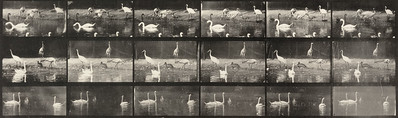Storks, swans, and other birds (Animal Locomotion, 1887, plate 776)