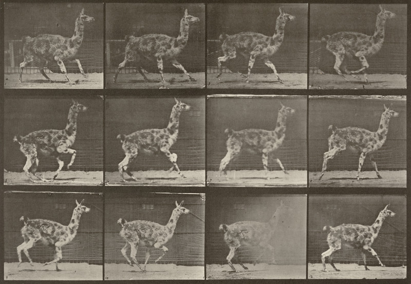 Guanaco galloping (Animal Locomotion, 1887, plate 743)