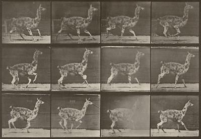 Guanaco galloping (Animal Locomotion, 1887, plate 743)