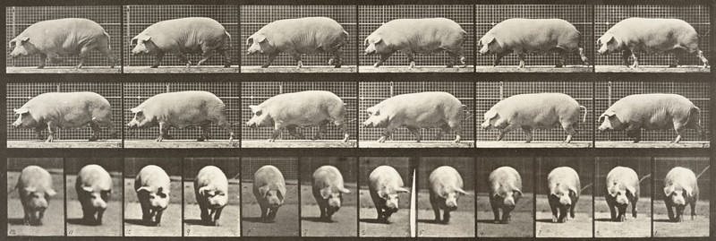 Sow walking (Animal Locomotion, 1887, plate 673)