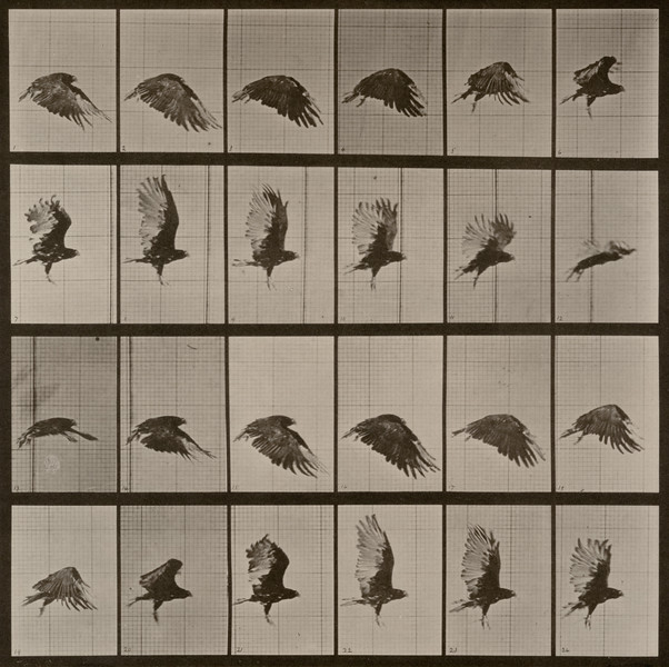 Vulture flying (Animal Locomotion, 1887, plate 765)