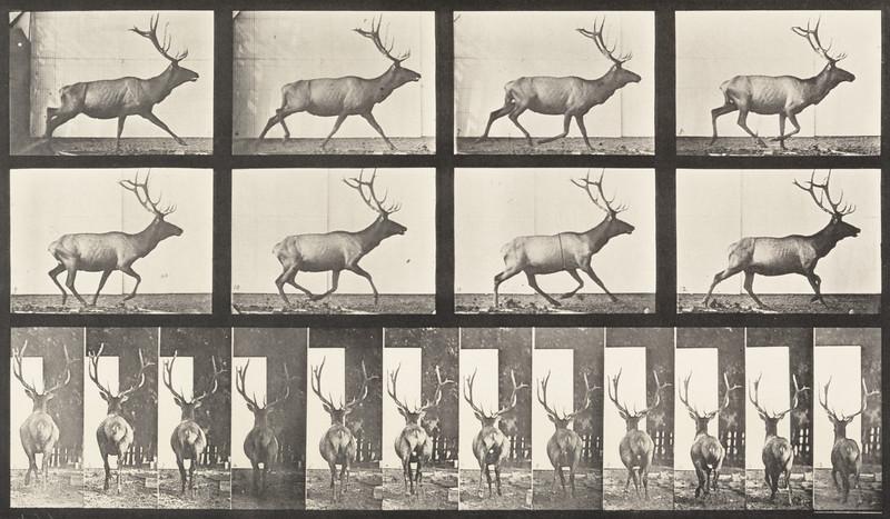 Elk galloping, irregular (Animal Locomotion, 1887, plate 694)