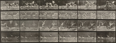 Storks, swans, etc. (Animal Locomotion, 1887, plate 777)