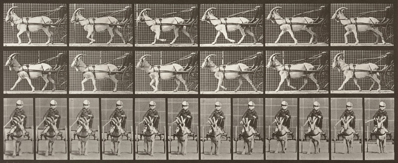 Goat trotting, harnessed to a sulky with driver (Animal Locomotion, 1887, plate 678)