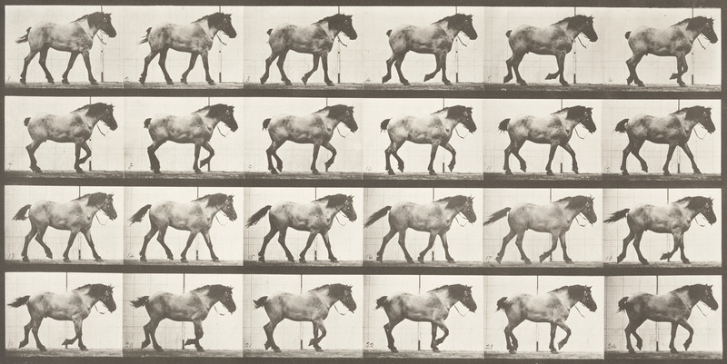Horse Hansel walking, free (Animal Locomotion, 1887, plate 574)