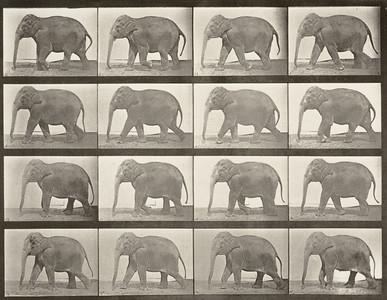 Elephant walking (Animal Locomotion, 1887, plate 732)
