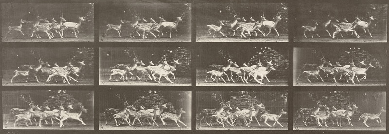 Fallow deer, buck and group of does, various movements (Animal Locomotion, 1887, plate 690)