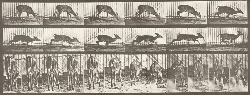 Virginia deer, buck, walking and started to a gallop (Animal Locomotion, 1887, plate 681)