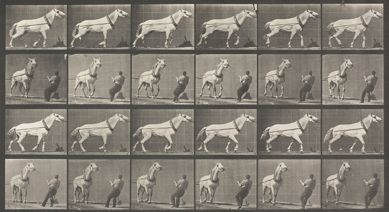 Horse Johnson hauling while being pulled by a man at head (Animal Locomotion, 1887, plate 573)
