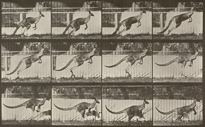 Kangaroo jumping (Animal Locomotion, 1887, plate 752)
