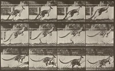 Kangaroo jumping (Animal Locomotion, 1887, plate 752)