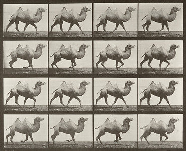 Bactrian camel racking (Animal Locomotion, 1887, plate 738)