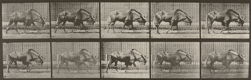 Gnu walking (Animal Locomotion, 1887, plate 701)