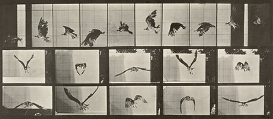 Fish hawk flying (Animal Locomotion, 1887, plate 764)