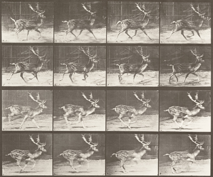 Fallow deer, buck, trotting, and galloping (Animal Locomotion, 1887, plate 682)