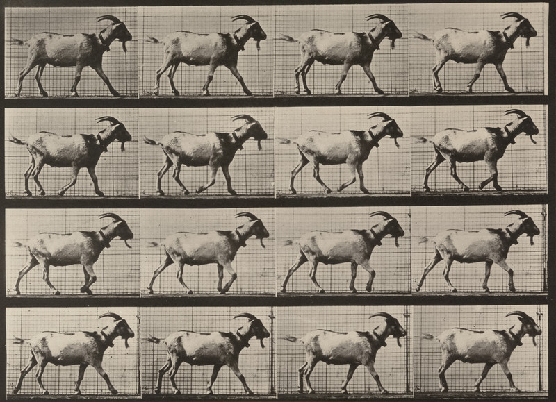 Goat walking (Animal Locomotion, 1887, plate 676)