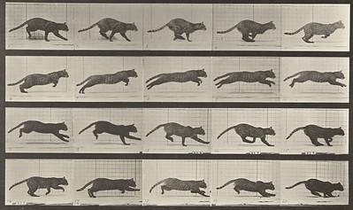Cat galloping (Animal Locomotion, 1887, plate 719)
