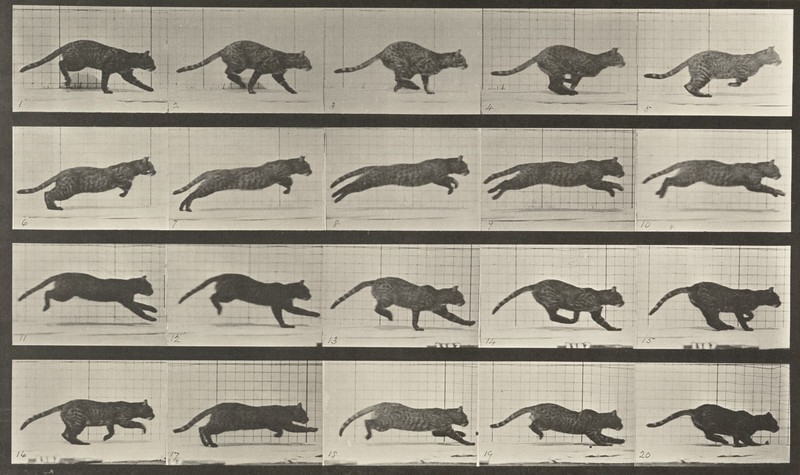 Cat galloping (Animal Locomotion, 1887, plate 719)