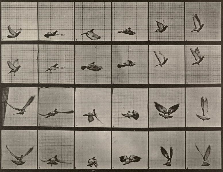 Pigeon flying (Animal Locomotion, 1887, plate 757)