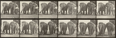 Two elephants walking (Animal Locomotion, 1887, plate 734)