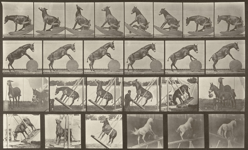 Horse Denver, miscellaneous performances (Animal Locomotion, 1887, plate 660)
