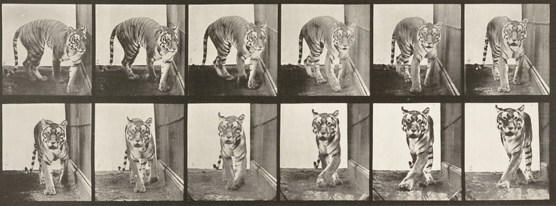Tigress walking and turning around (Animal Locomotion, 1887, plate 730)