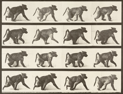 Baboon walking on all fours (Animal Locomotion, 1887, plate 747)